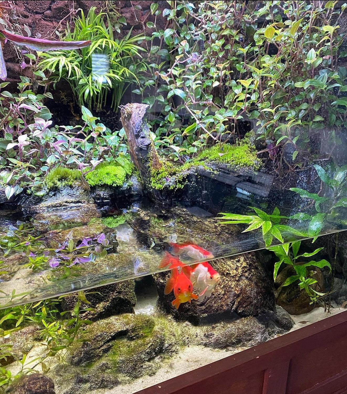 Customers Goldfish in Aquarium