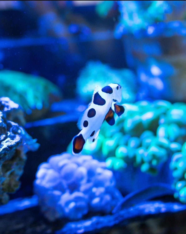 Mocha Storm Clownfish Swimming in an Aquarium